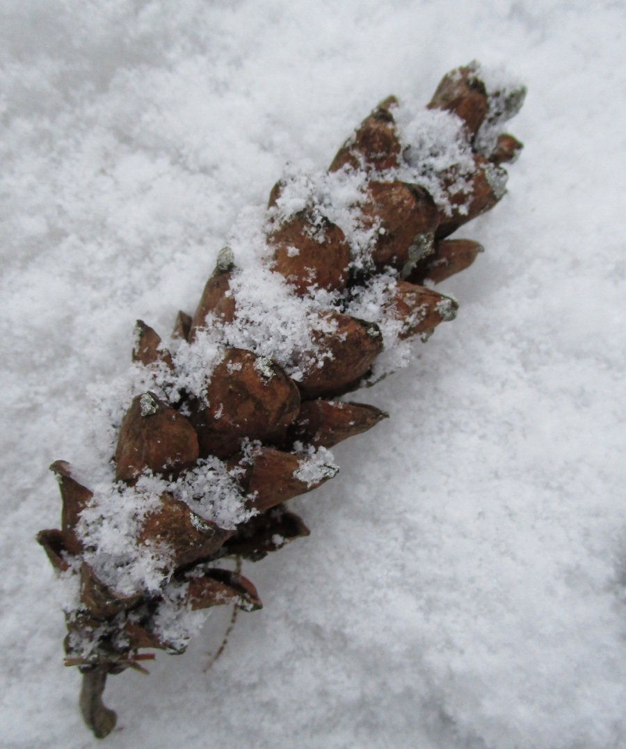 dec 17 plumb brook pine cone